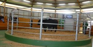 Stoney Point Hamilton Bull Sale